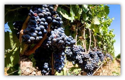 immagine.vitigno.susumaniello.uva